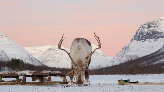 Reindeer In The Sunset LR