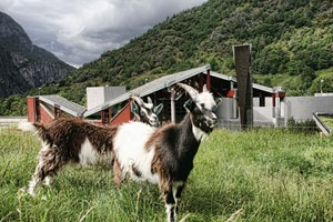 Experiencel Goats on the roof at Norsk Nature center Hardanger on the Hardangerfjord in a nutshell tour & Rosenda - Norway
