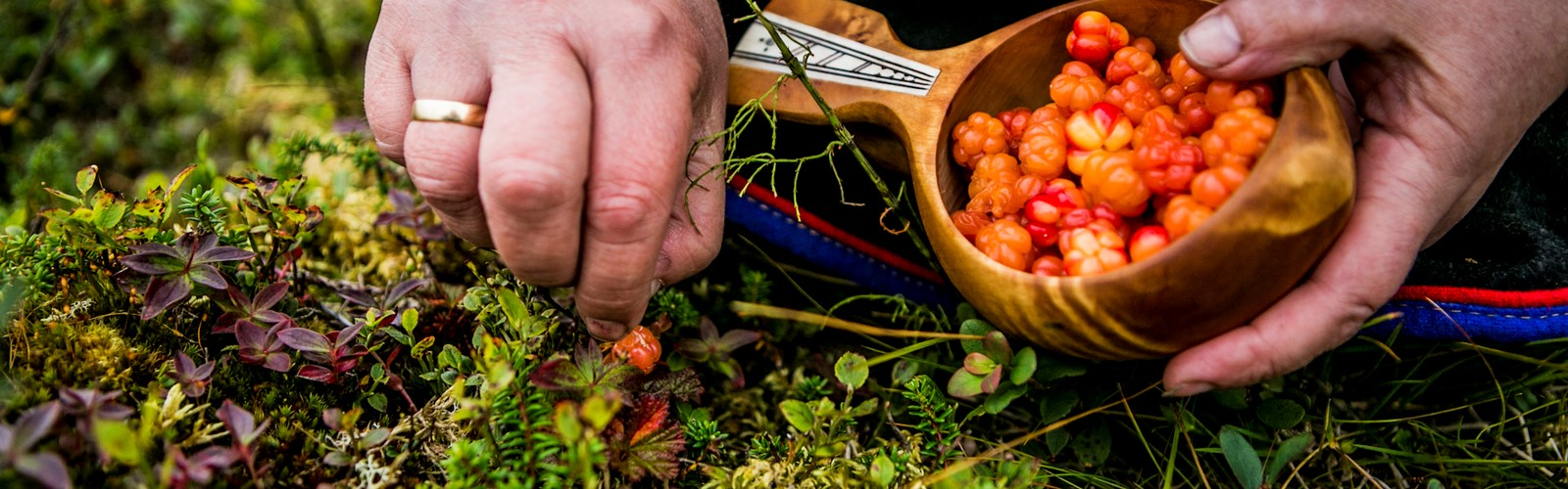PICKING CLOUDBERRIES FINNMARK NORWAY PHOTO CHRISTIAN ROTH CHRISTENSEN 5848233 Foto Christian Roth Christensen